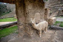 Alpaca bij Inca-ruïnes in Ollantaytambo, Peru Royalty-vrije Stock Afbeeldingen