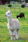 Alpaca blanca Foto de archivo libre de regalías