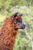 Alpaca with the body covered with soft woolly curls Royalty Free Stock Photography