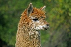 Alpaca with the body covered with soft woolly curls Royalty Free Stock Images
