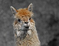 Alpaca with the body covered with soft woolly curls Royalty Free Stock Photo