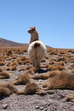 Alpaca in Bolivia Royalty Free Stock Photography