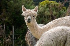 Alpaca branca Imagens de Stock Royalty Free