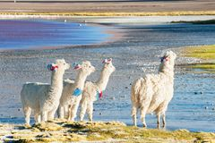 Alpaca branca em Laguna Colorada, Altiplano, Bolívia Foto de Stock