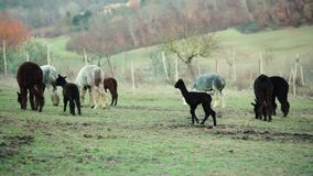 Alpaca breeding on the Tuscan hills. Alpaca breeding, for the production of wool, on the Tuscan hills in Italy stock footage