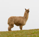 Alpaca Brown And Hairy In Profile On The Hill Stock Photos