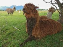 Alpaca brown colour sitting on green glass. Farm animal Stock Images
