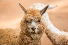 Alpaca. Brown alpaca face close up Stock Photo