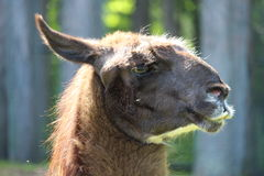 Alpaca. A brown alpaca with teeth sticking out of mouth Royalty Free Stock Images