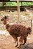 Alpaca. Brown alpaca in the zoo Royalty Free Stock Photos