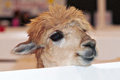 Alpaca cómoda del bebé que mira sobre la cerca Imagenes de archivo