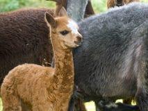 Alpaca calf. Brow alpaca (Lama or Vicugna pacos) calf Stock Photo