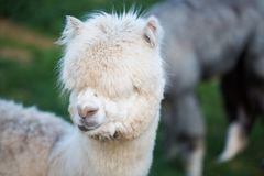 Alpaca can be fed from the hand. Macro royalty free stock images