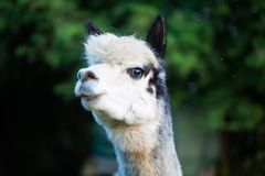 Alpaca can be fed from the hand. Macro royalty free stock image