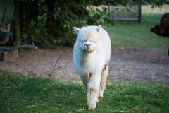 Alpaca can be fed from the hand. Macro royalty free stock photos