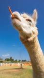 Alpaca with carrot Stock Photos