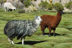 Alpaca che pasce nel parco nazionale di isluga del vulcano Fotografia Stock