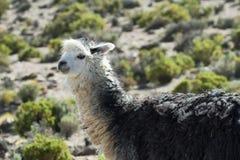 Alpaca che pasce nel parco nazionale di isluga del vulcano Fotografie Stock