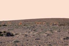 Alpaca che pasce sul alla base del vulcano di Chimborazo Fotografie Stock Libere da Diritti