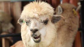 Alpaca chewing,closeup stock footage