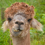 Alpaca Chewing Stock Photos