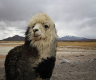 Alpaca at the Chile altiplano Stock Photography