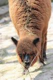 Alpaca Stock Image