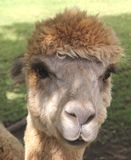 A curious Alpaca in close up Stock Photography