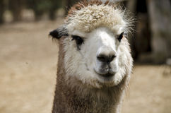 Alpaca Royalty Free Stock Images