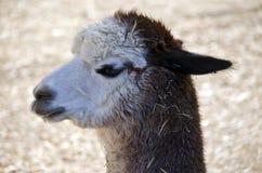 Alpaca Royalty Free Stock Photography
