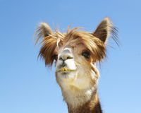Alpaca Close-up. This close-up of the Alpaca is cute and adorable.  Check out it's hairstyle Royalty Free Stock Photo