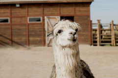 Alpaca close-up portrait. In front of a barn Stock Image