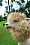 Alpaca Closeup Stock Photography