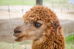 Alpaca,closeup of Alpaca Stock Photos