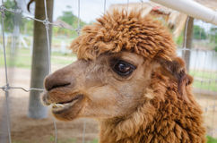 Alpaca,closeup of Alpaca Royalty Free Stock Photos