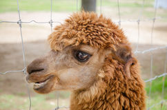 Alpaca,closeup of Alpaca Stock Image