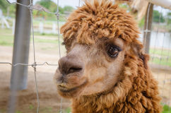 Alpaca,closeup of Alpaca Stock Images