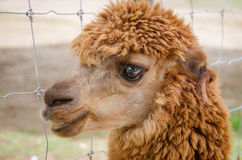 Alpaca,closeup of Alpaca Royalty Free Stock Photo