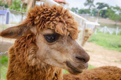 Alpaca,closeup of Alpaca Royalty Free Stock Image