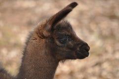 Alpaca closeup. Cute alpaca baby closeup face Stock Images