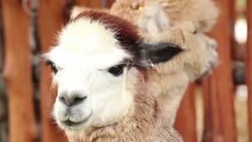 Alpaca,closeup stock video footage