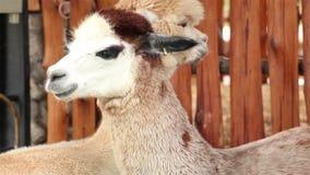 Alpaca closeup stock video