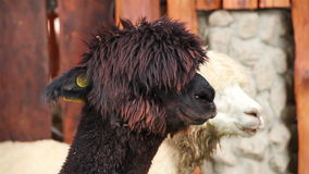 Alpaca,closeup Stock Photography