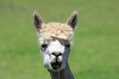 Alpaca closeup Royalty Free Stock Photos