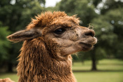 Alpaca closeup of head Royalty Free Stock Image