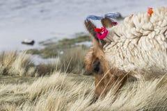 Alpaca at Colorado Lagoon, Salt Lake, Bolivia, South America. Stock Photography