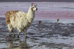 Alpaca at Colorado Lagoon, Salt Lake, Bolivia, South America. Royalty Free Stock Photo
