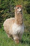 Alpaca com o corpo coberto com as ondas woolly macias Imagem de Stock Royalty Free