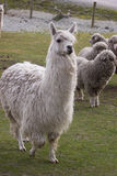 Alpaca con otras ovejas en fondo Foto de archivo