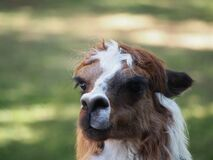 Alpaca contemplating life Stock Photo